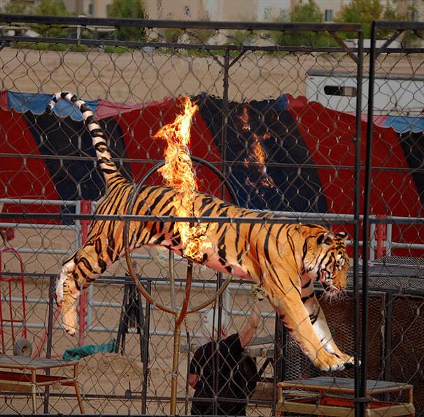 Tiger-Fire-Hoop
