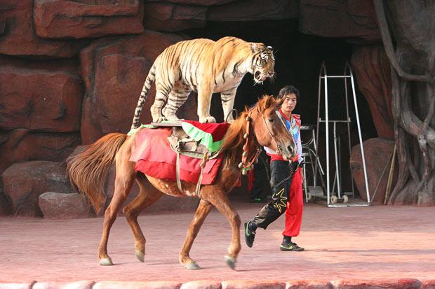 tiger-horse_1693345i