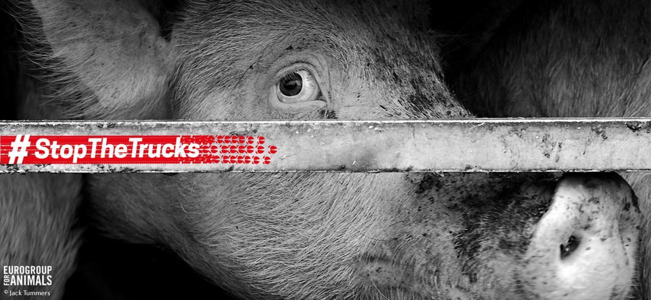 Pig_NEU_3_0