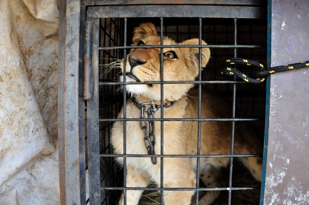 caged-lion-circus