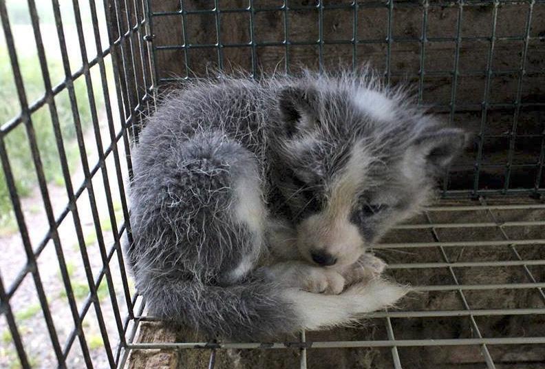 fur-farming-loomus