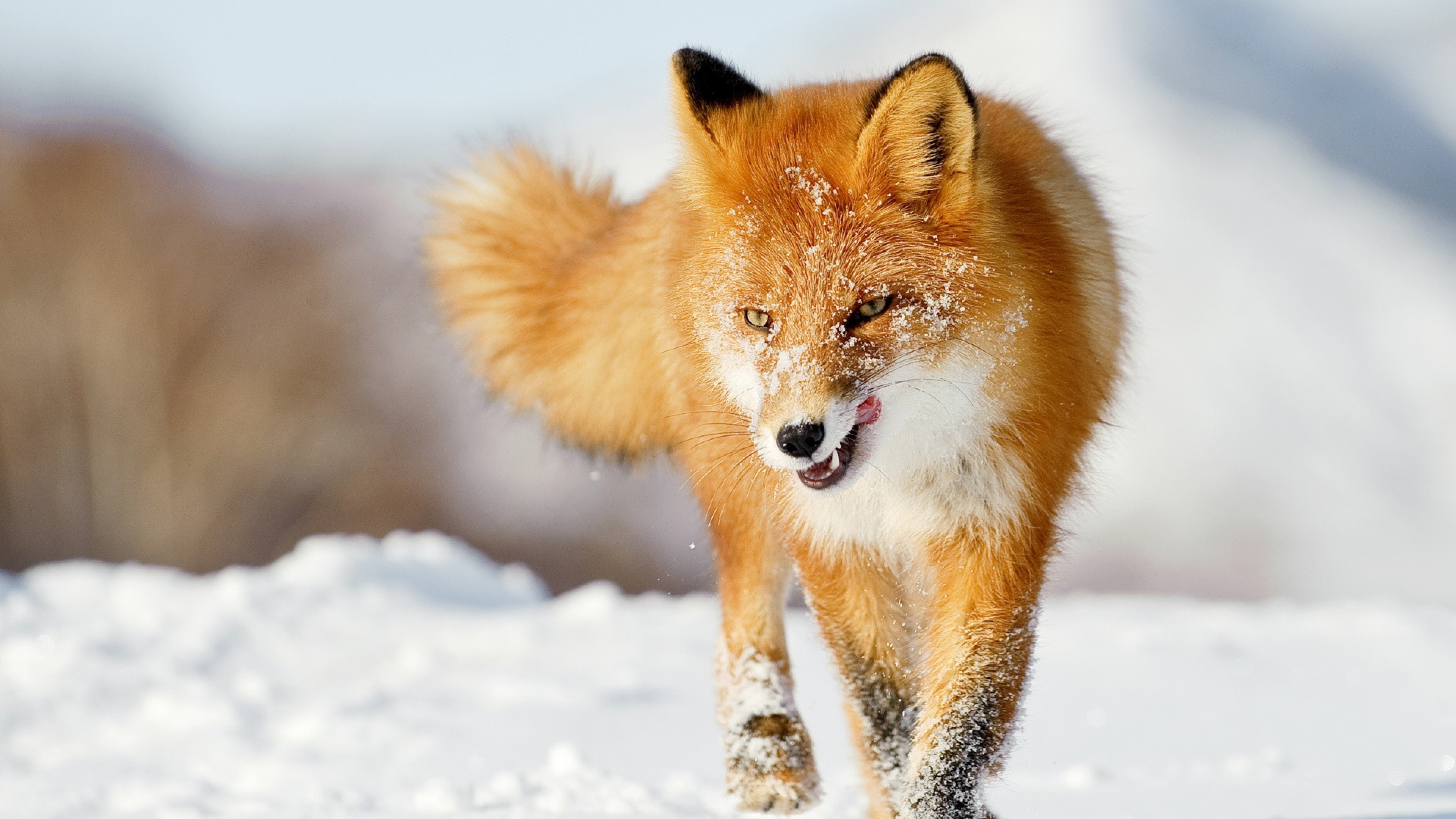fox_snow_running_winter_67252_3840x2160